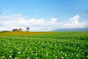 青い空と菜の花とじゃがいも畑