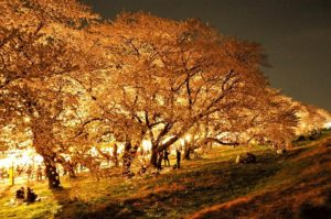 熊谷桜堤 ライトアップ