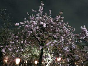 造幣局 桜の通り抜け 夜桜