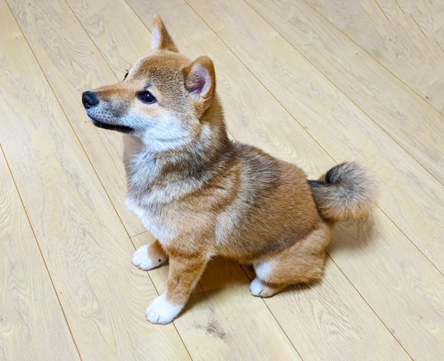 犬のしつけ(おすわり)